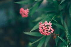 Pink Flowres Near Green Leaves Outdoor during Daytie Royalty Free Stock Photography
