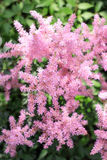 Pink fluffy flower. Fluffy branch of a bush blooming with small white flowers Royalty Free Stock Images