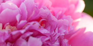 Pink fluffy peony flower. Beautiful bright fluffy peony flower with delicate petals, macro stock photography