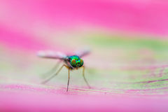 Pink fly Royalty Free Stock Images