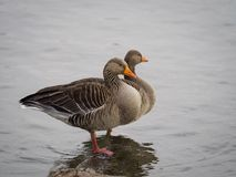 Pink footed geese Royalty Free Stock Photo