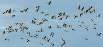 Pink-footed geese (Anser brachyrhynchus) in flight Royalty Free Stock Photography