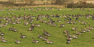 Pink-footed geese (Anser brachyrhynchus)   Stock Photography