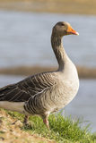 Pink footed Goose Stock Photo
