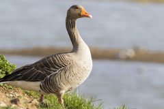 Pink footed Goose Stock Images