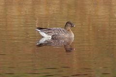 Pink-footed Goose (Anser brachyrhynchus) Royalty Free Stock Photos