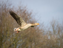 Pink footed goose in flight Royalty Free Stock Photo