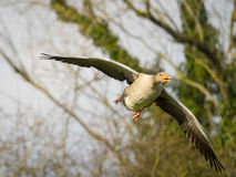 Pink footed goose in flight Royalty Free Stock Photos