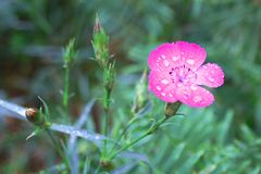 Pink forest carnation with dew drops on petals close-up stock photos