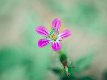 Pink forest flower and green beetle Stock Photography