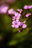 Pink forget-me-nots Royalty Free Stock Image