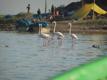 Pink Foursome. People around the lake go about their lives as the Flamingos wade through the water attracting huge tourists from across India to this sleepy Royalty Free Stock Photography