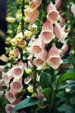 Pink Foxglove Flowers Stock Photography