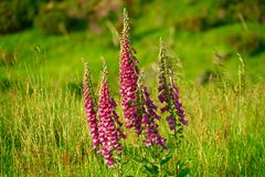 Pink foxglove in Scotland. With a green field 2 Stock Photos