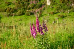 Pink foxglove in Scotland. With a green field Stock Images