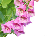 Pink Foxgloves Royalty Free Stock Photo