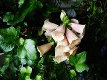 Pink foxgloves green dark ivy Royalty Free Stock Photos