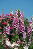 Pink foxgloves and blue sky. Pink foxgloves growing in a cottage garden  on a sunny day with blue sky Stock Images