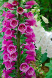Pink foxgloves Royalty Free Stock Images