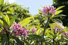 Pink Fragipani Blooms Royalty Free Stock Photos