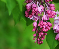 Pink fragrant Lilacs Royalty Free Stock Photography