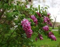 Pink fragrant Lilacs Stock Photos