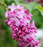 Pink fragrant Lilacs Stock Photography