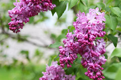 Pink fragrant Lilacs Stock Images