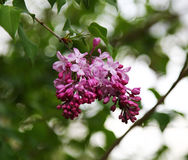 Pink fragrant Lilacs Royalty Free Stock Images