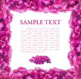 Pink frame of flowers celosia Stock Image