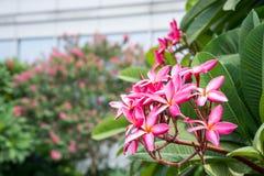 Pink frangipane flower Royalty Free Stock Photos