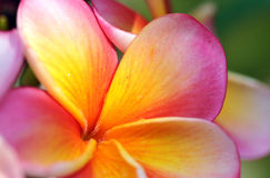 Pink Frangipani Royalty Free Stock Photography