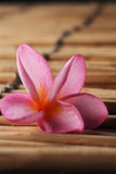 Pink frangipani Royalty Free Stock Images