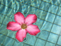 Pink Frangipani Royalty Free Stock Photos