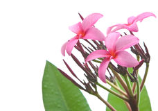 Pink frangipani against white background Royalty Free Stock Image