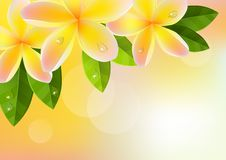 Pink frangipani background Stock Photo