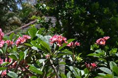 Pink frangipani blossoms in a greenery of a tropical garden royalty free stock photography