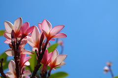 Pink Frangipani with the blue sky background. Close up pink Frangipani with the blue sky background Stock Photography