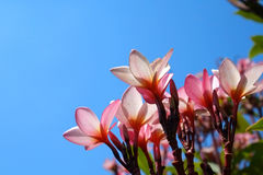 Pink Frangipani with the blue sky background. Close up pink Frangipani with the blue sky background Royalty Free Stock Photos