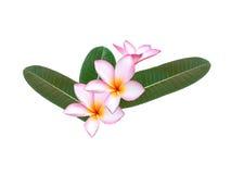 Pink frangipani bundle Stock Photo