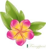 Pink frangipani flower. Illustration, eps-10 Stock Photos