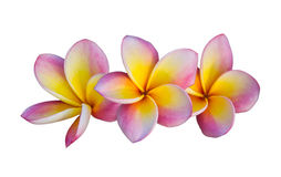 Pink Frangipani Flower Royalty Free Stock Photo