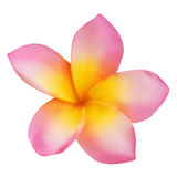 Pink frangipani flower Royalty Free Stock Images