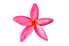 A pink frangipani flower close up Stock Image