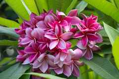 Pink Frangipani flower at full bloom during summer, plumeria Royalty Free Stock Photography