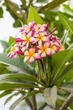 Pink Frangipani flower,Plumeria Royalty Free Stock Images