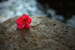 Pink Frangipani flower on the rock Stock Photo