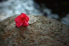 Pink Frangipani flower on the rock. Beautiful pink Frangipani flower on the rock Stock Photo