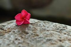 Pink Frangipani flower on the rock Stock Photos