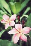 Pink frangipani flower Stock Photography